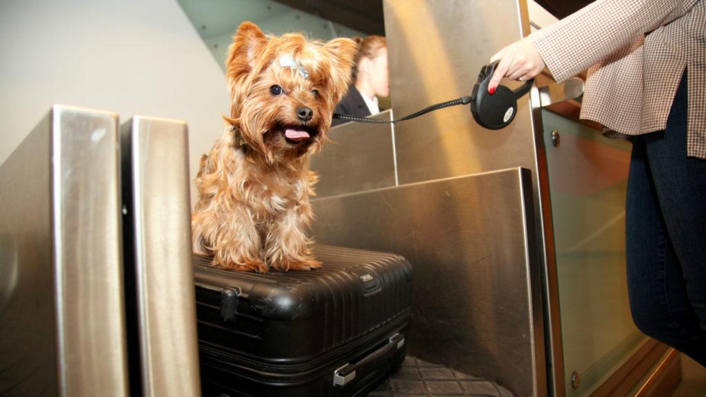 Собака на стойке регистрации на рейс
